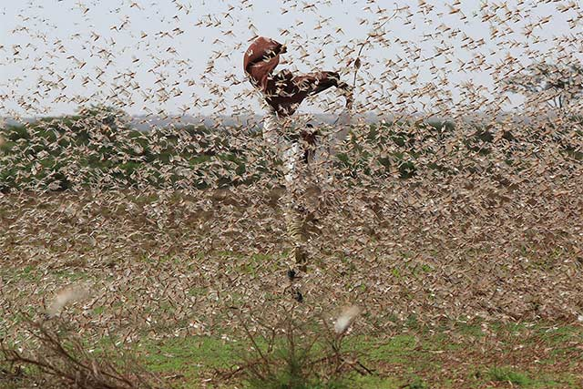 Photo of Embrace Alternative Methods of Eradicating Desert Locusts